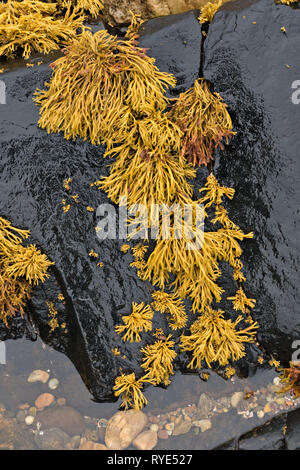 Yellow, green, Channelled wrack (Pelvetia canaliculata) seaweed growing on black seaside rock, Sotland, UK - Stock Image