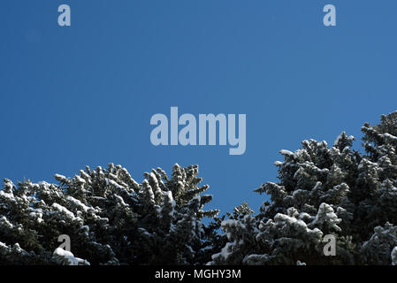 Blue winter sky without clouds and a pine fir tree with a dusting of light wintry snow on the branches of this lush evergreen woodland fauna - Stock Image