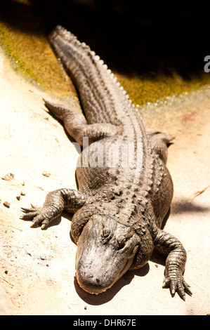 crocodile emerging from water looking menacing - Stock Image