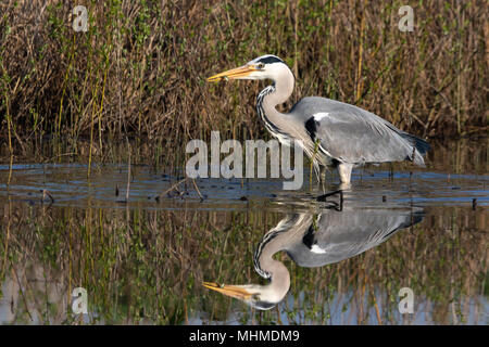 Grey Heron (Ardea cinerea) with a small fish caught in its bill on an early morning with perfect reflection in still water - Stock Image