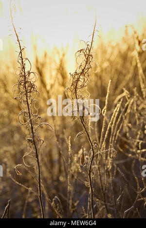 Frost covered withered grasses and the stalks of fireweed are illuminated by low winter sun. - Stock Image