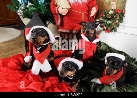 miniature-pinchers wishing a merry christmas - Stock Image