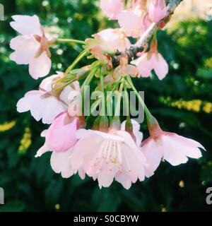 Beautiful, light pink sakura or cherry blossoms with dark green leaves background. - Stock Image