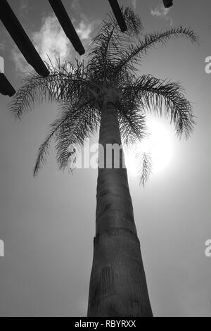 A low view point looking up the trunk of a long palm tree to the palm branches at the top, behind the palms the sun is shining through, the sky is cle - Stock Image