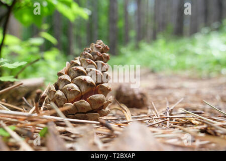 Two pine cones fallen on the ground in a green spring forest. - Stock Image