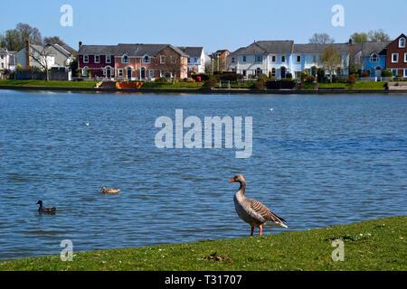 Goose and ducks on the edge of the lake at Watermead, Aylesbury, Buckinghamshire, UK - Stock Image