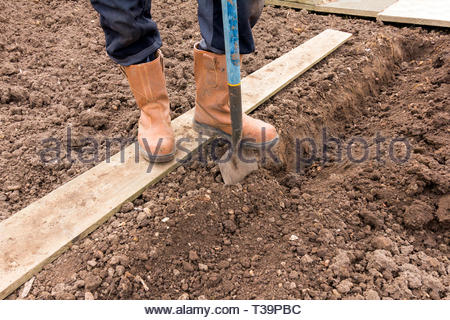 Digging a trench on an allotment for planting potatoes - Stock Image