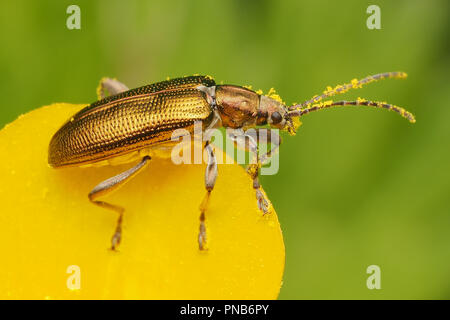 Leaf Beetle ( Plateumaris sp) perched on edge of buttercup. Tipperary, Ireland - Stock Image