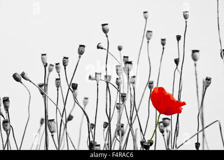 A single poppy flower among poppy seed heads - Stock Image