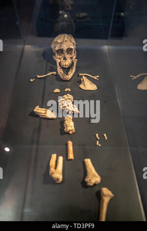 One of the earliest human remains, National Museum of Ethiopia, Addis Ababa, Ethiopia. - Stock Image