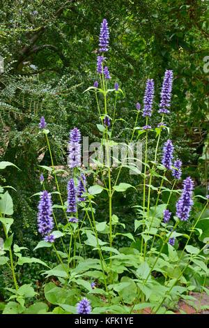 Agastache 'Black Adder' in a flower garden border - Stock Image