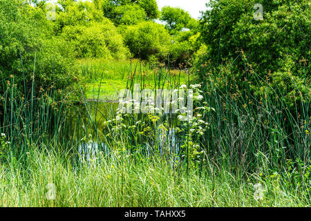 Hemlock and Cattail reeds at the San Luis National Wildlife refuge - Stock Image