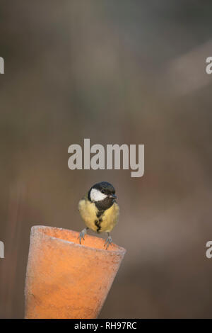 Great tit, finding food in an old flower pot, late winter in Oxfordshire. - Stock Image