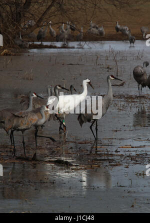 Whooping crane with sandhill cranes in Indiana wetland - Stock Image