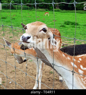 Deer in Weald Country Park, South Weald, Brentwood, Essex, UK - Stock Image