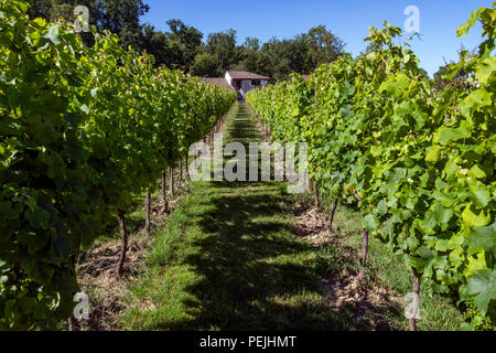 Vineyard at Chateau de Monbazillac near the town of Bergerac in the Dordogne area of the Nouvelle-Aquitaine region of France. - Stock Image