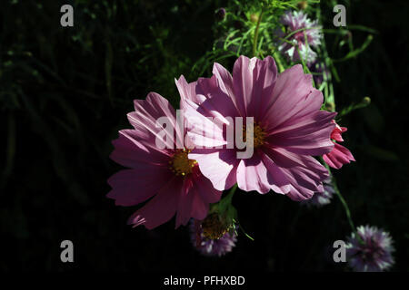 Flower growing in garden at Domaine de l'orangerie de Lanniron, Quimper, Finistere, Brittany, France - Stock Image