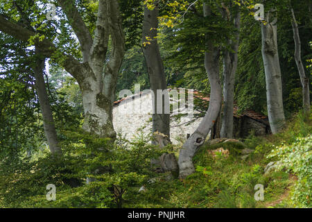 Beech trees house in the woods - Stock Image