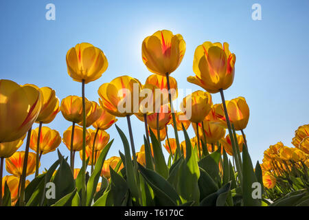 Traditional Dutch tulip field with yellow flowers in sunlight - Stock Image