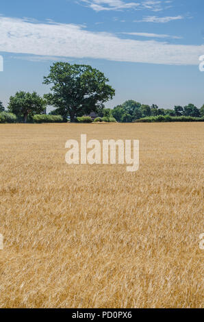 A view looking across a field of what at trees and hedgerow beyond. - Stock Image