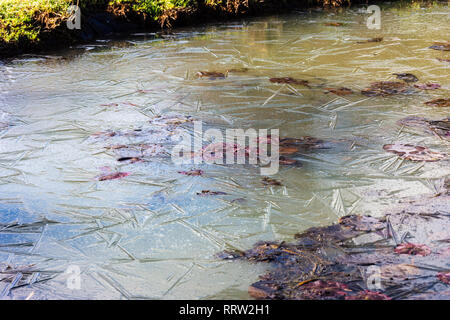 Water lily leaves in the cracked ice of a dew pond - Stock Image