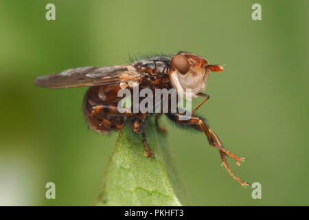 Conopid Fly (Conops testacea) preening itself on top of leaf. Tipperary, Ireland - Stock Image