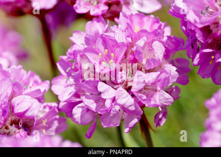 Thrift or Sea Pink (armeria maritima), close up of a single flower out of many. - Stock Image