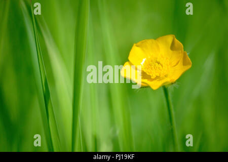 Meadow Buttercup (ranunculus acris), close up of a single flower in the grass. - Stock Image