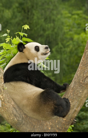 Giant panda sits in fork of  tree warming itself in the first rays of the early morning sun after a cool night, - Stock Image
