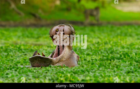 Hippopotamus in a morass. South Luangwa national Park in Zambia - Stock Image