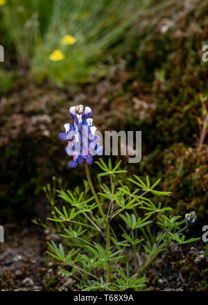 Lupinus perennis, flower and leaves, in nature in California - Stock Image