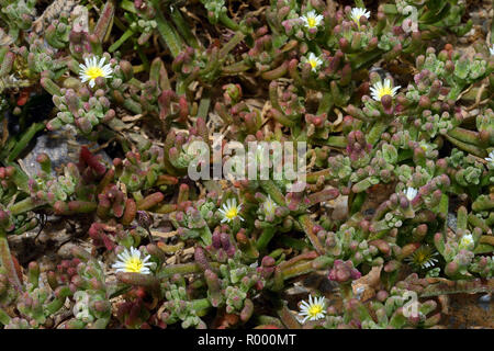 Mesembryanthemum nodiflorum (slenderleaf ice plant) is a succulent plant often found in coastal habitats. - Stock Image