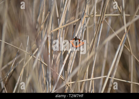 Small tortoiseshell butterfly on reeds in the Snape Marshes, Suffolk, England. - Stock Image
