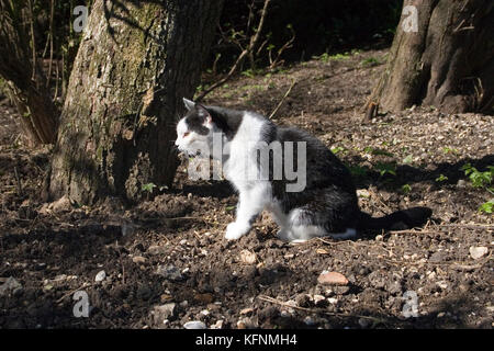 black and white adult cat stalking in woods - Stock Image