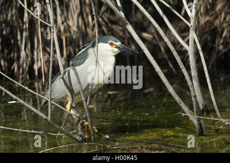 Night Heron perched in the reeds at Charca de Suarez - Stock Image