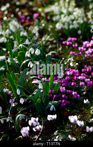 Cyclamen coum,Galanthus,snowdrop,snowdrops,cyclamens,February,Winter,White,pink,flowers,flowering,carpet,bulbs,lawn,lawns,garden,RM Floral - Stock Image