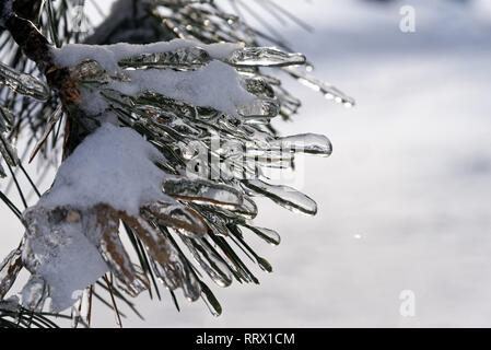 Pine needles encased in ice after freezing rain in Quebec, Canada - Stock Image