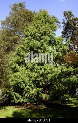 Dawn Redwood Tree, Metasequoia glyptostroboides - Stock Image