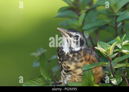 Close-up of a fledgling American robin. - Stock Image