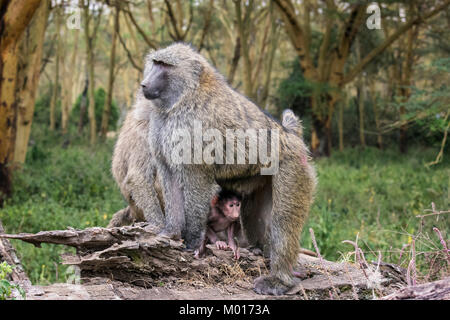 Tiny newborn Olive Baboon, Papio anubis, peeks out from under his mother, Nakuru National Park, Kenya, East Africa - Stock Image