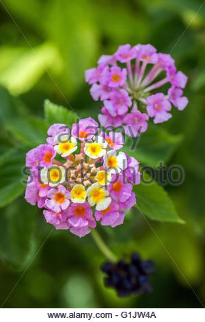 Lantana camara, known as big-sage, red-sage, white-sage or tickberry - Stock Image
