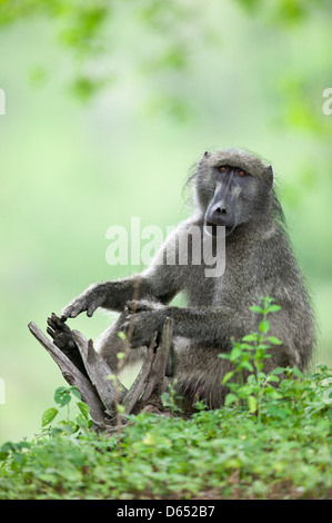 Chacma baboon Papio ursinus sitting behind a log hands apart as if applauding himself - Stock Image