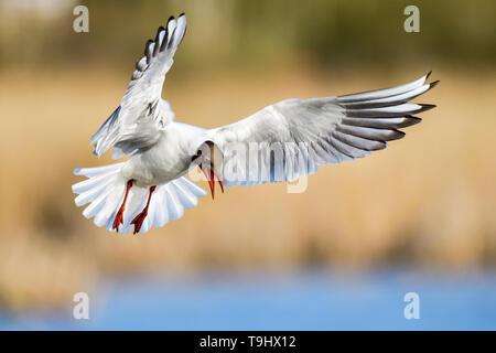 Black-headed Gull giving agressive warning call. - Stock Image