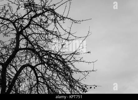 Black winter branches in silhouette with a white sky nature background - Stock Image