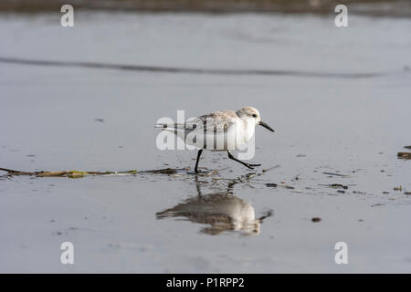 A Sanderling (Calidris alba) runs rapidly along the beach; Hammond, Oregon, United States of America - Stock Image