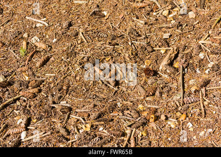 Full frame of the ground in a conifer forest in the UK. brown leaf and conifer needle litter, alongside fir cones - Stock Image