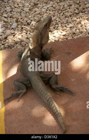 Large Iguana on the sidewalk - Stock Image
