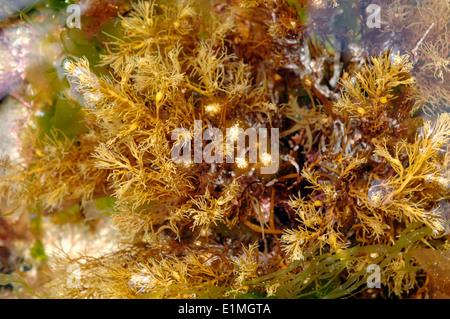 Bushy Berry Wrack, a brown seaweed (Cystoseira baccata) in a rockpool, UK - Stock Image