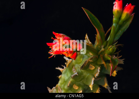 Cactus Flower Blooms - Stock Image
