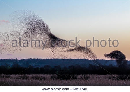 Thousands of Starlings make a spectacular display in the evening sky before roosting for the night on Shapwick Heath, Somerset, UK - Stock Image